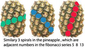 pineapple-fibonacci-300